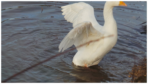 Goose flapping wings in water