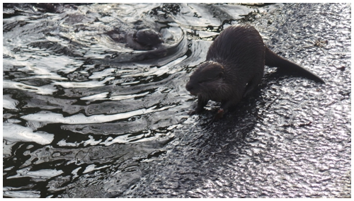 Otters cavorting at Hobbledown