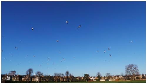 Seagulls flying over houses in Wimbledon