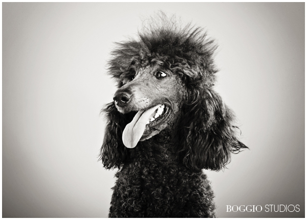 Black and white photo of a poodle