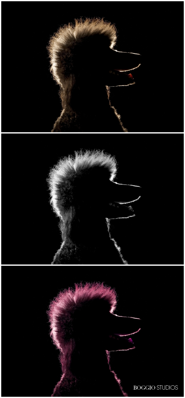 3 sillhouette headshots of a poodle